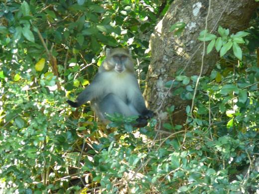 Sykes (Samongo) Monkey at camp site