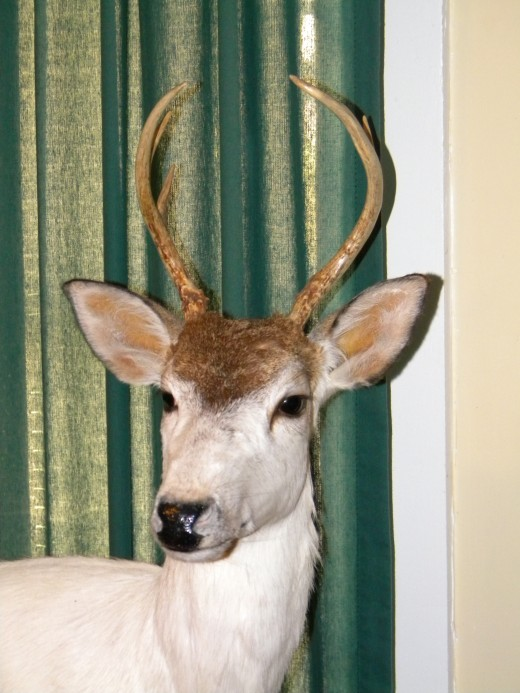 A view of the antlers on the piebald buck.  Notice the only brown coloring on his head.