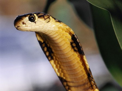 Fast Fact: The King cobra can raise itself 1.8 metres off the ground to face an attacker.