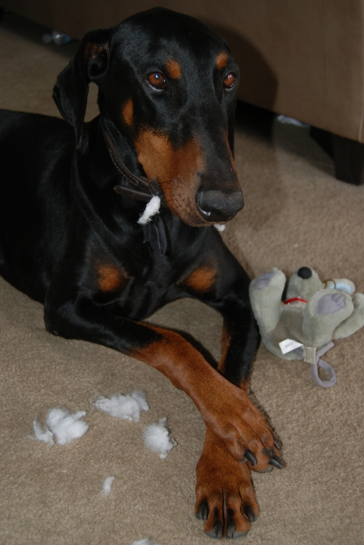 Stuffed animals and pillows are common casualties of canine chewing.
