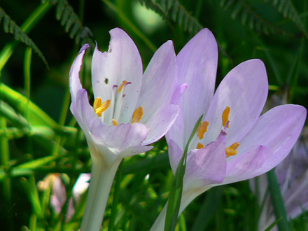autumn crocus. Possibly the world's most poisonous plant