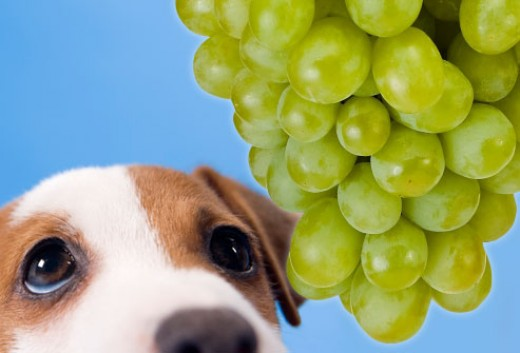 Grapes can make a dog very sick.