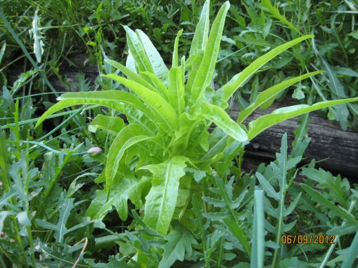 Lettuce And Arugula Naturally Seeded