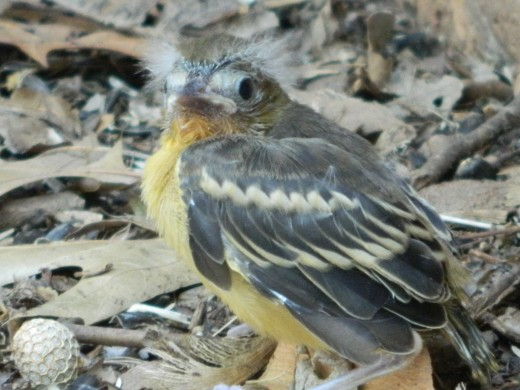 "Fledgling Baltimore Oriole  ""Little Rembrandt"""