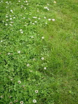 Clover colonizing lawn.  I am working on reducing the grassy areas in my yard and replacing them with beds of native grasses and plants, vegetables, and low-maintenance ground covers.