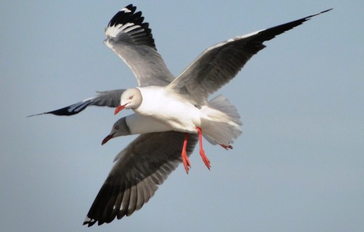 Grey headed Gulls together in flight