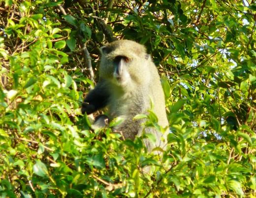 Monster Sykes Monkey