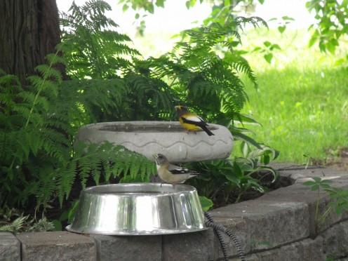These evening grosbeaks are enjoying a sip of water in my bird baths.