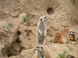 Meercats from the San Diego Zoo.