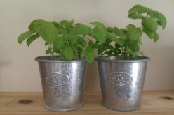 How To Grow Your Own Potted Herbs - Growing Basil