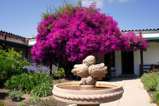 Main Courtyard, 100 year old bouganvilla