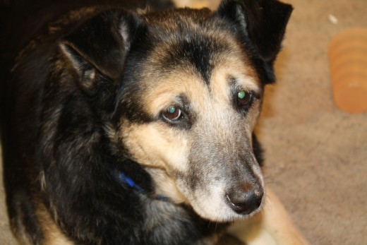 Author's rescued German Shepherd mix, Spooky, adopted at approximately four years of age and was a loyal companion for ten years until the dog passed.