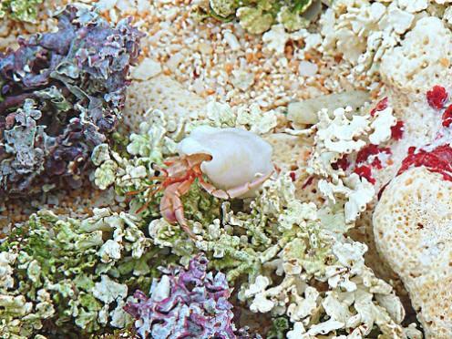 A hermit crab on Guam near the wildlife refuge.