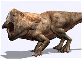 a sheep-sized herbivore characterized by the large frill at the back of its head. It was so common it is often called the sheep of the cretaceous. Believed to travel in large herds, this small dinosaur was a favorite meal of many now extinct animals