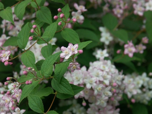 photo of deutzia