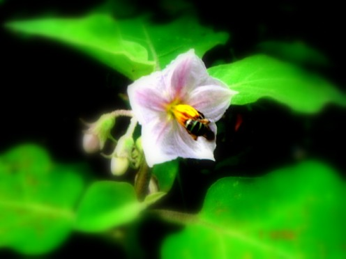 Mr.Bee pollinating my brinjal flower.