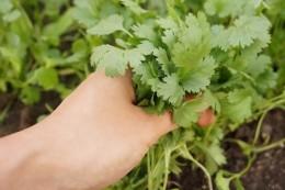 Rau mui - coriander / cilantro
