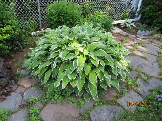 Full grown hosta - green with white trim