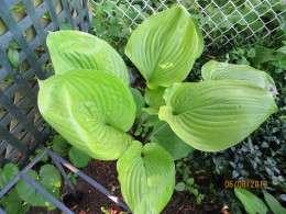 Giant green hosta