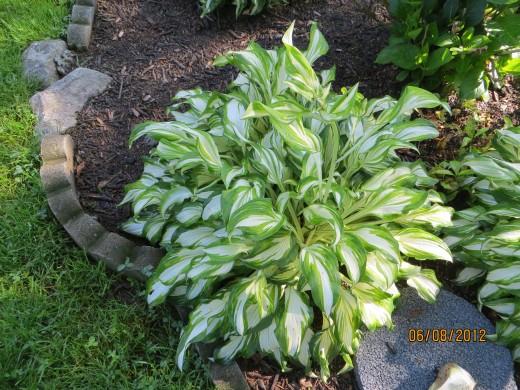 Full grown hosta - white with green trim