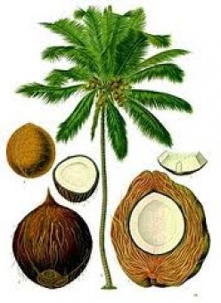 Uses Of Coconut Tree From Roots To Fruits