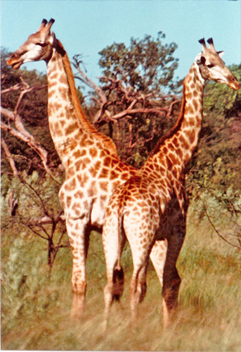 Savanna Giraffe - Taken from a landrover on one of our weekend safaris in 1975. My buddy worked as a field biologist for a United Nations study project.
