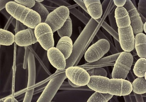 Streptococcus mutans causes cavities