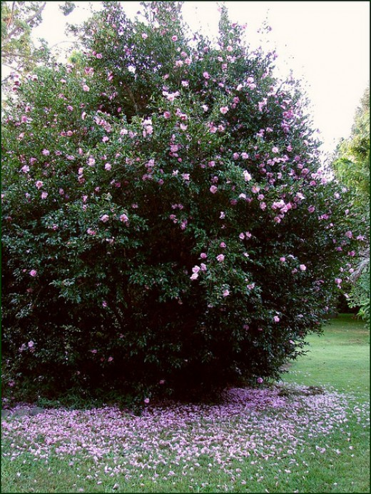 A flowering young Camellia bush with petals covering the ground