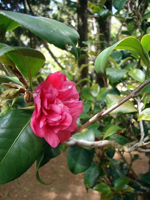 I often picked Camellias like this one.