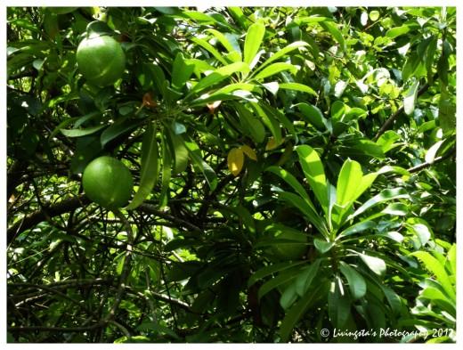 Wild mangoes