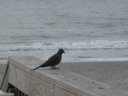 Mourning Dove on Beach Entrance