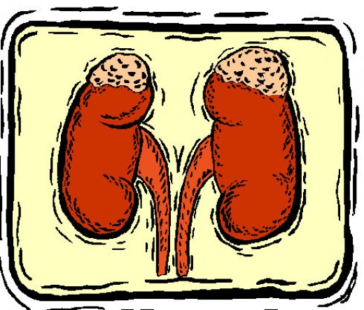 The Kidney, where Kidney Stones will form.