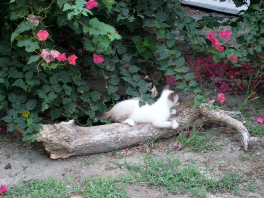 Mamacita's two kittens play beneath the bougainvillea - a kitty Eden