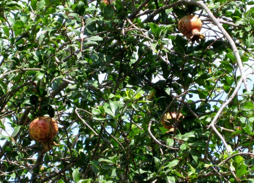 Pomegranate tree beside the fig tree - promise of Eden?