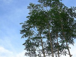 Health Benefits of Malunggay – the Miracle Tree