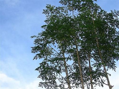 Malunggay Trees