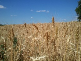 A field of wheat ready to be harvested.
