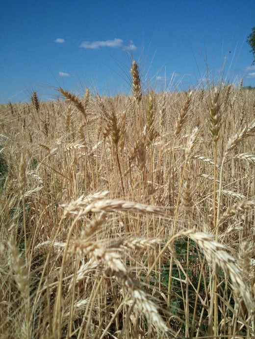 Seed heads of wheat
