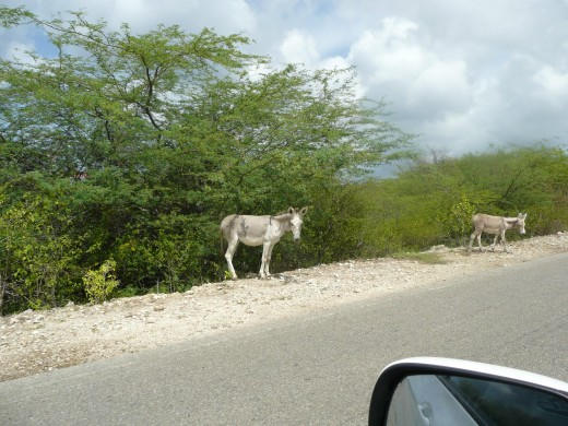 Wild donkey on the side of the road.
