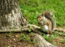 North Carolinas State Mammal: The Grey Squirrel
