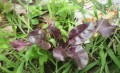 5 Best Seeds for Weedless Gardening - Sprouts, Baby Greens and Microgreens for Salads. Purple Orach, Bull's Blood & More