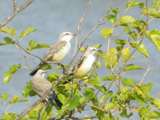 Fledgling Scissor-Tailed Flycatchers