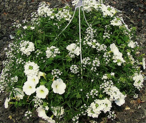 Clear White Alyssum, Petunia, Verbena Combination Hanging Basket
