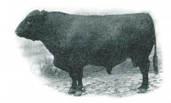 Polled Cattle