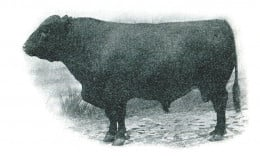 Polled Durham Bull (1903)--note lack of horns