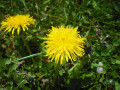 Common Wild Edible Plants