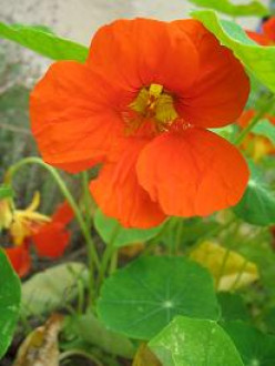 Nasturtiums, one of my Granny Madge's favorite plants!