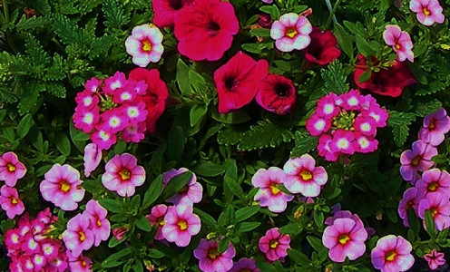 Raspberry with White Eye Verbena, Lavender Calibrachoa Petunia and Raspberry Petunia Combination Hanging Basket.