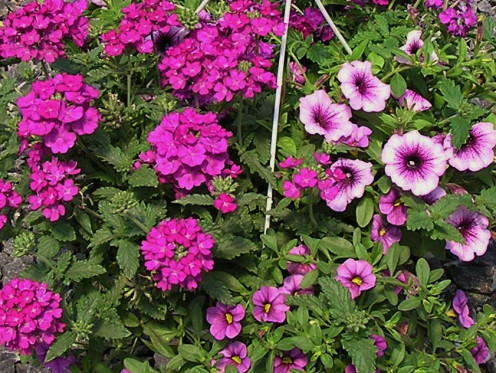 Purple Verbena, Petunia and Calibrachoa Petunia Share a Hanging Basket.