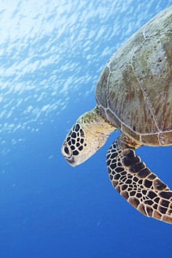 Turtle in Tubbataha Reef, Philippines
